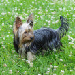 Stock Photo: Yorky