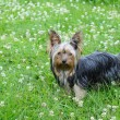 Yorky - Stock Photo