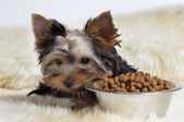 Yorky and food — Stok fotoğraf