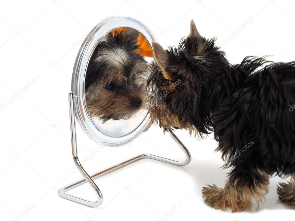 Puppy looks in the mirror — Stockfoto #1013662