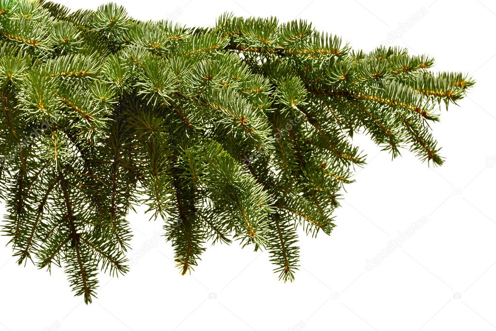 Green fir branch on the white background — Stockfoto #1014841