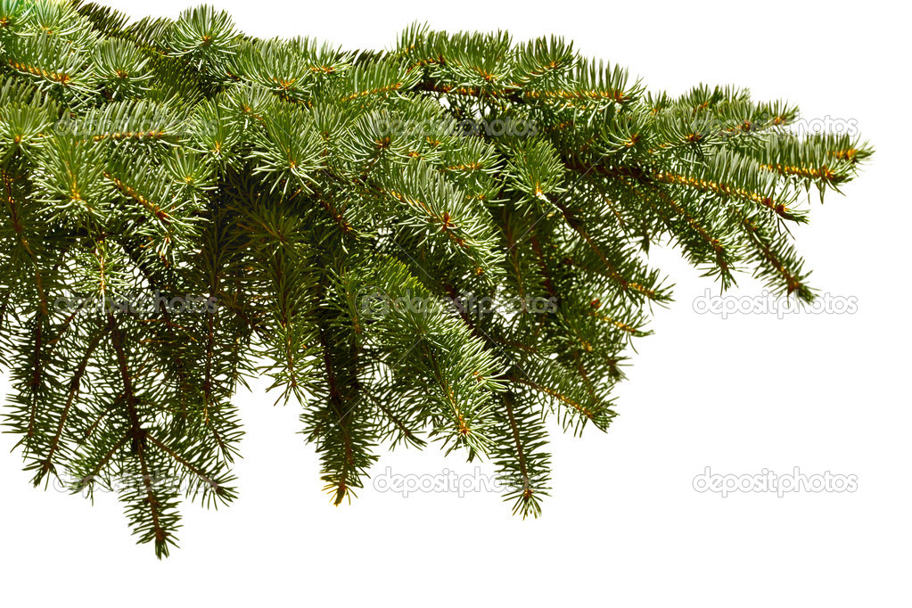Green fir branch on the white background — Zdjęcie stockowe #1014841