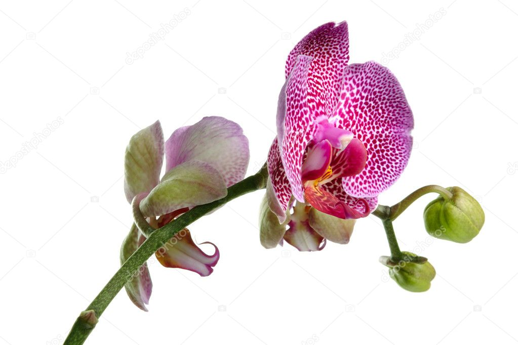 Pink orchid on the white background — Stock Photo #1014853