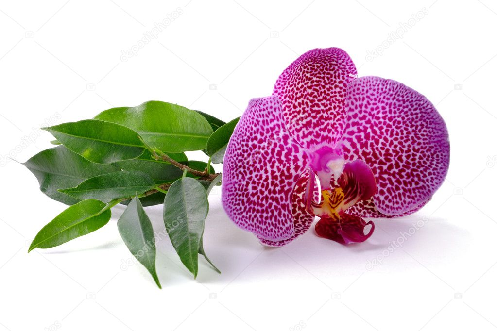 Pink orchid on the white background — Stock Photo #1015131