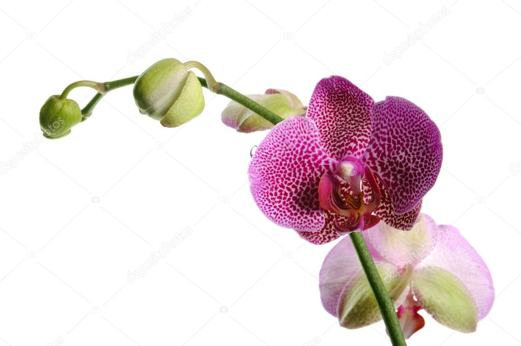 Pink orchid on the white background — Stock Photo #1015135