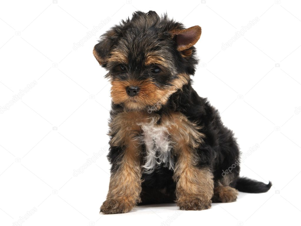 Puppy yorkshire terrier at the age of 7 weeks on the white background  Stock Photo #1015757