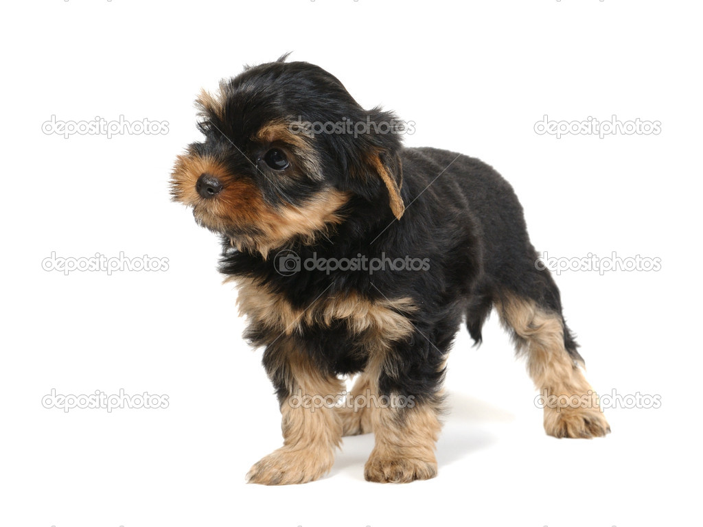 Puppy yorkshire terrier at the age of 7 weeks on the white background — Stock Photo #1015758