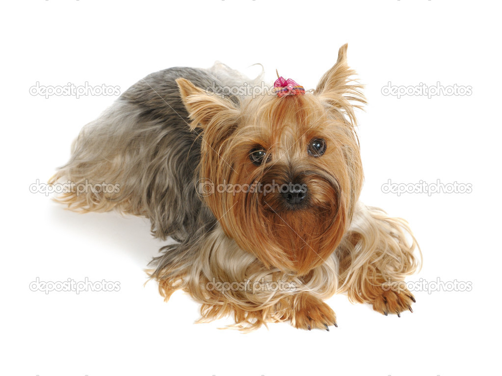 Puppy yorkshire terrier  on the white background — Stock Photo #1015804