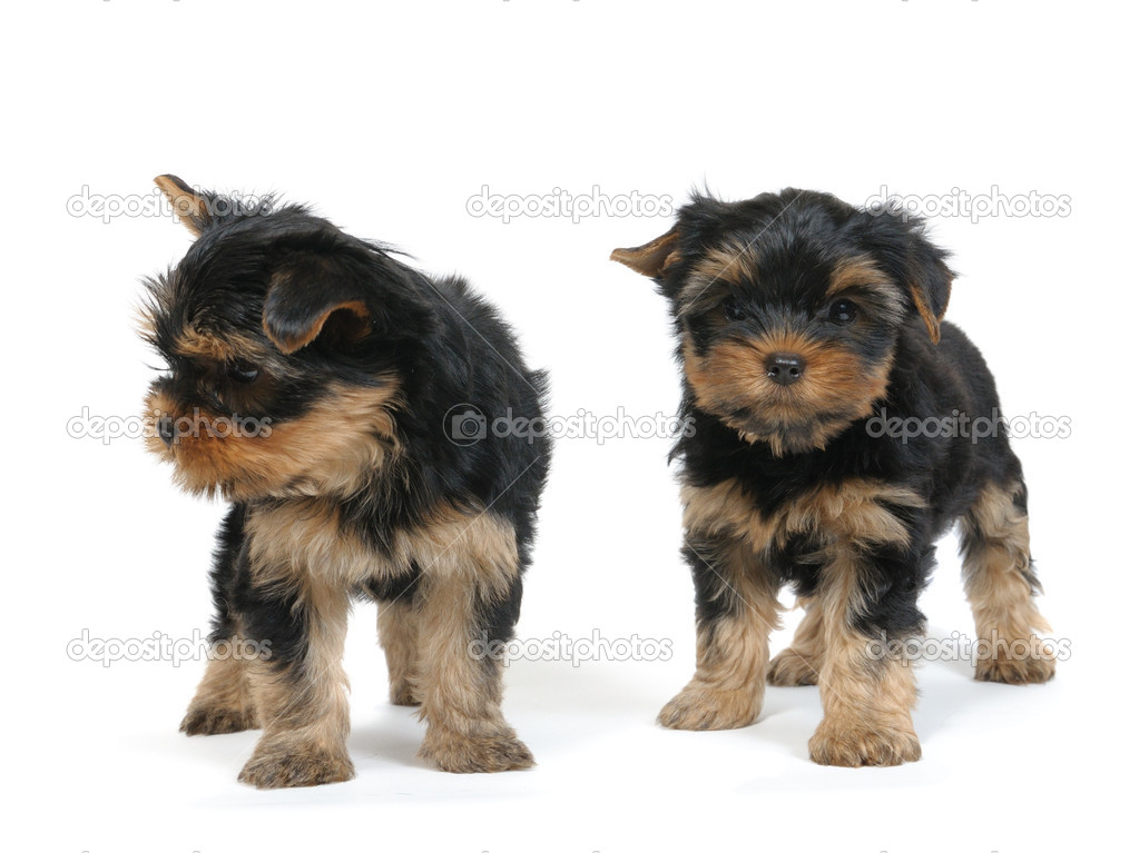 Puppy yorkshire terrier at the age of 7 weeks on the white backgroundPuppy yorkshire terrier at the age of 7 weeks on the white background — Stock Photo #1015811