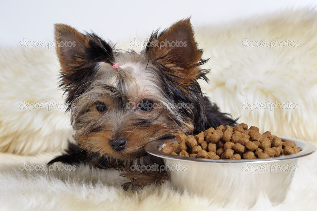 Yorky and food — Foto Stock #1016157