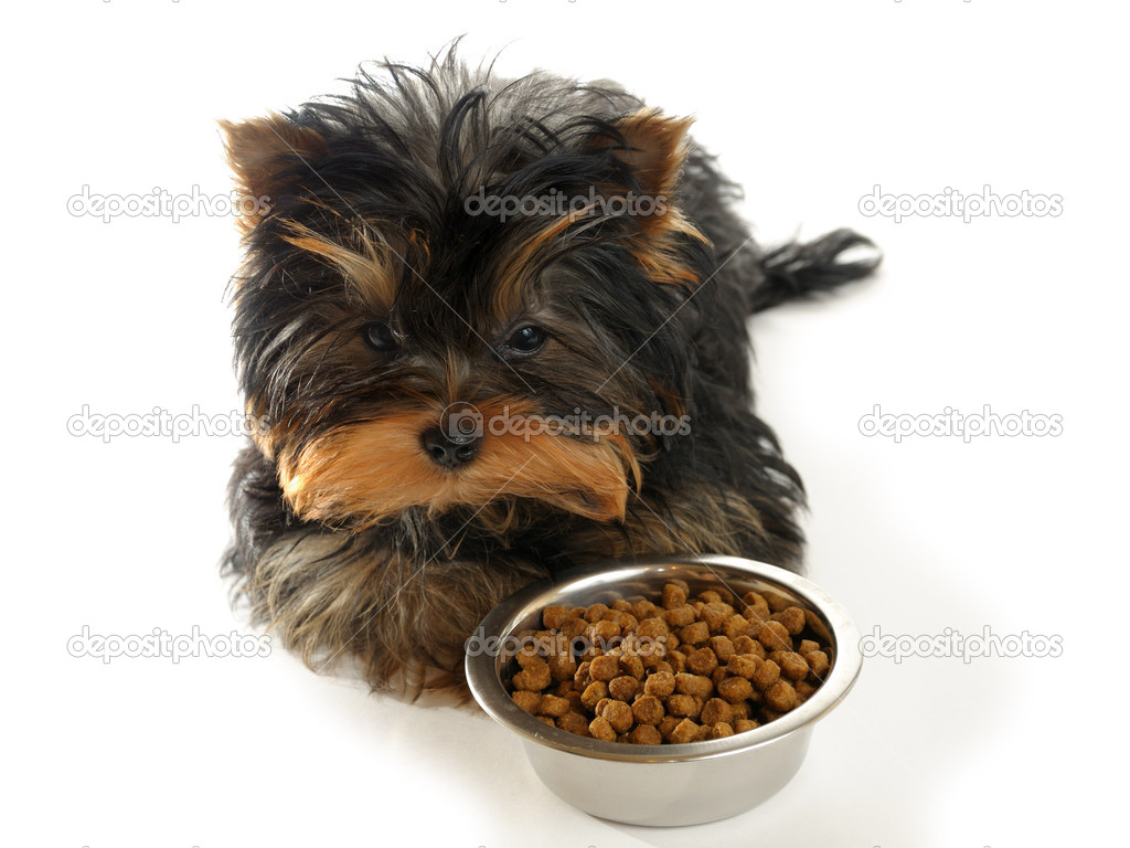 Yorkshire terrier eat a bowl — Stock Photo #1016739