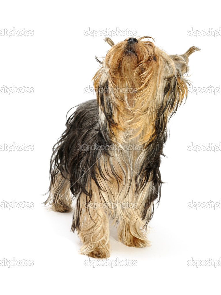 Puppy yorkshire terrier at the age of 9 mounth on the white background — Stock Photo #1018768