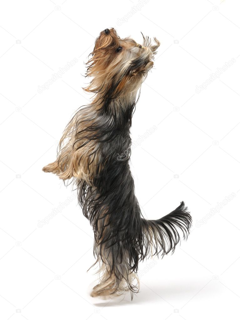 puppy yorkshire terrier stands on its hind legs — Zdjęcie stockowe #1018777