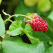Foto Stock: Large raspberry