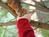To feed a squirrel to take a nut from hands — Stock Photo