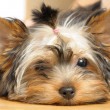 Yorkshire terrier — Stock Photo #1045149