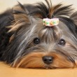 Yorkshire terrier — Stock Photo #1045479