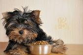 Yorky ve gıda — Stok fotoğraf