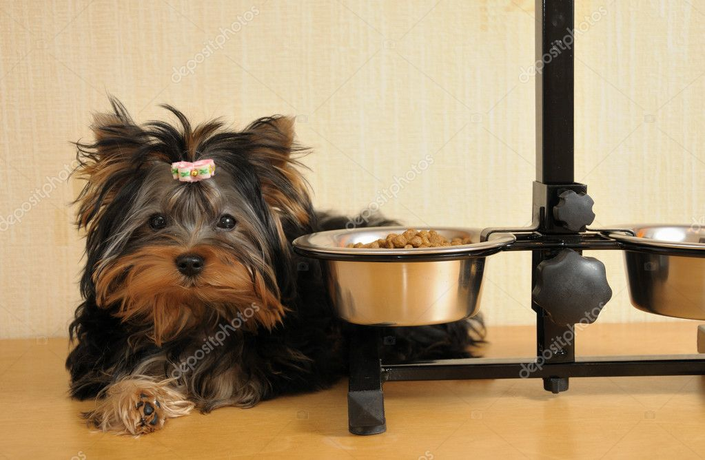 Yorky and food — Stock Photo #1045487