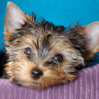 Yorkshire terrier — Stock Photo #1098198