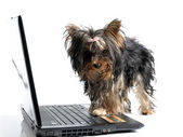 Puppy yorkshire terrier and computer — Zdjęcie stockowe