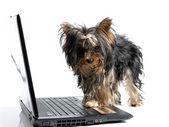 Köpek yorkshire terrier ve bilgisayar — Stok fotoğraf