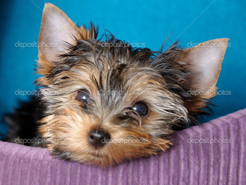 Portrait puppy yorkshire terrier at the age of 2 months  — Zdjęcie stockowe #1098198