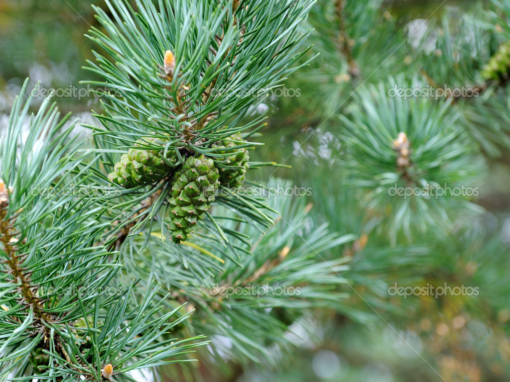 Fir tree — Foto Stock #1098341