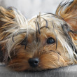 Yorkie — Stock Photo