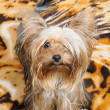 puppy yorkshire terrier — Foto de Stock   #1584446