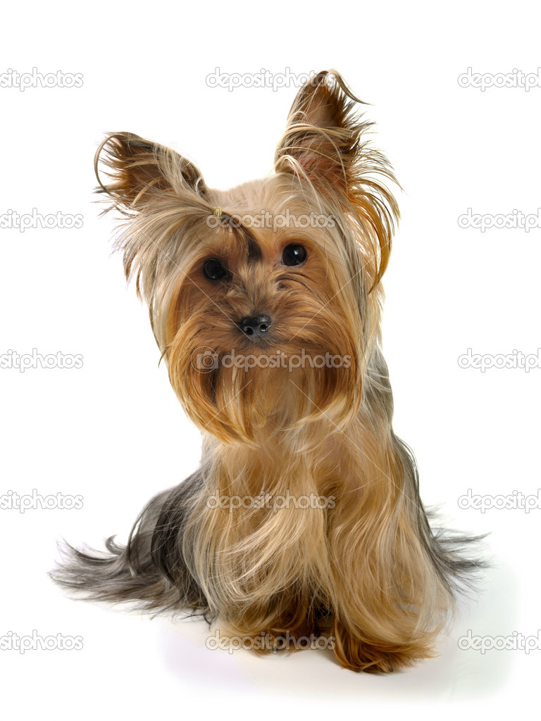 puppy yorkshire terrier on the white background — Foto de Stock   #1584429