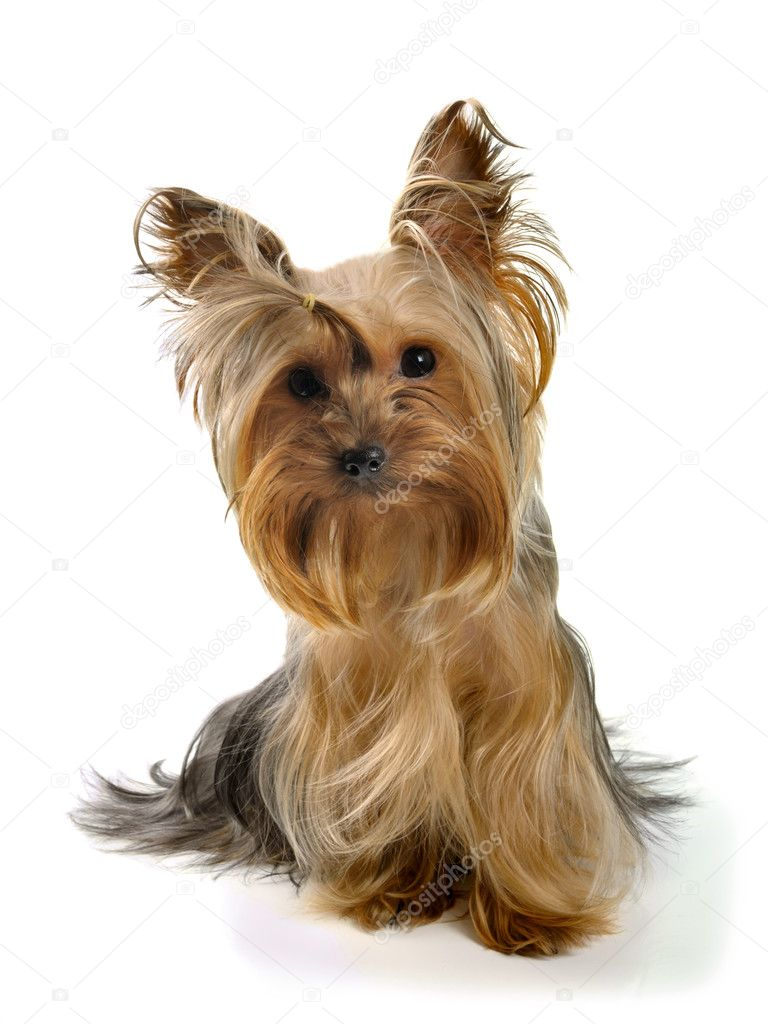  puppy yorkshire terrier on the white background  Foto de Stock   #1584429