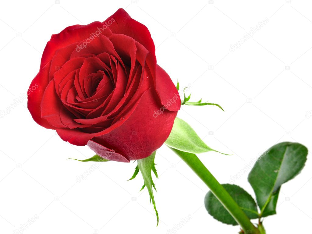 Red rose on the white background — Stock fotografie #1584728