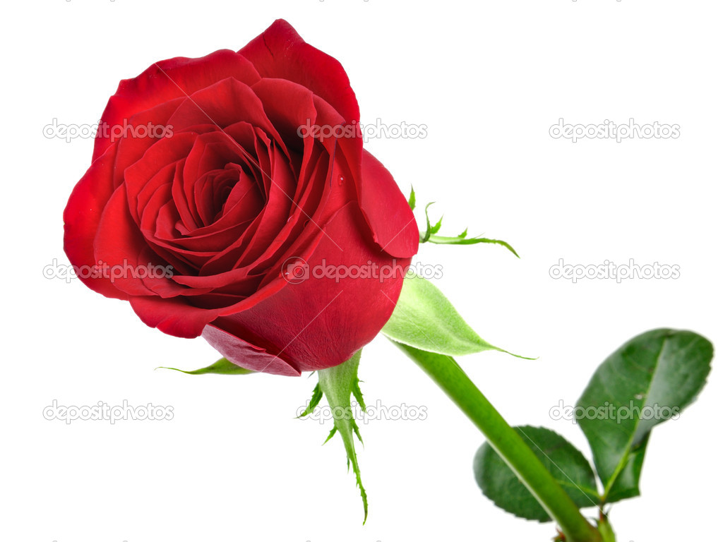 Red rose on the white background  Photo #1584728