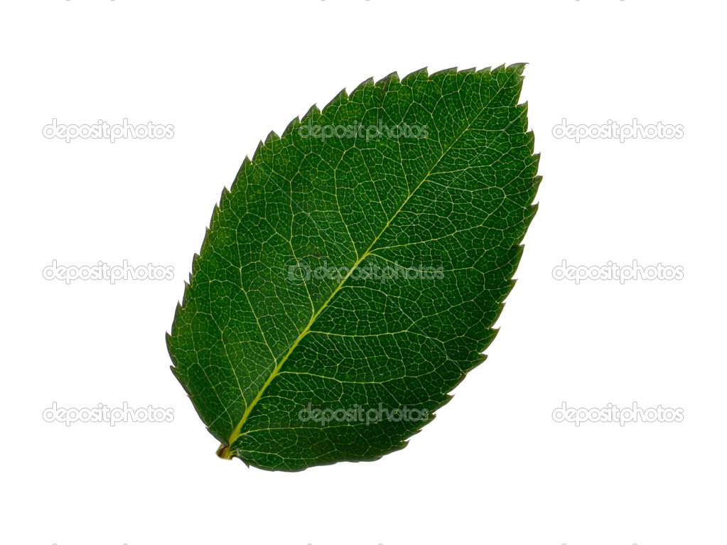 Green small leaf on the white background — Stockfoto #1622174