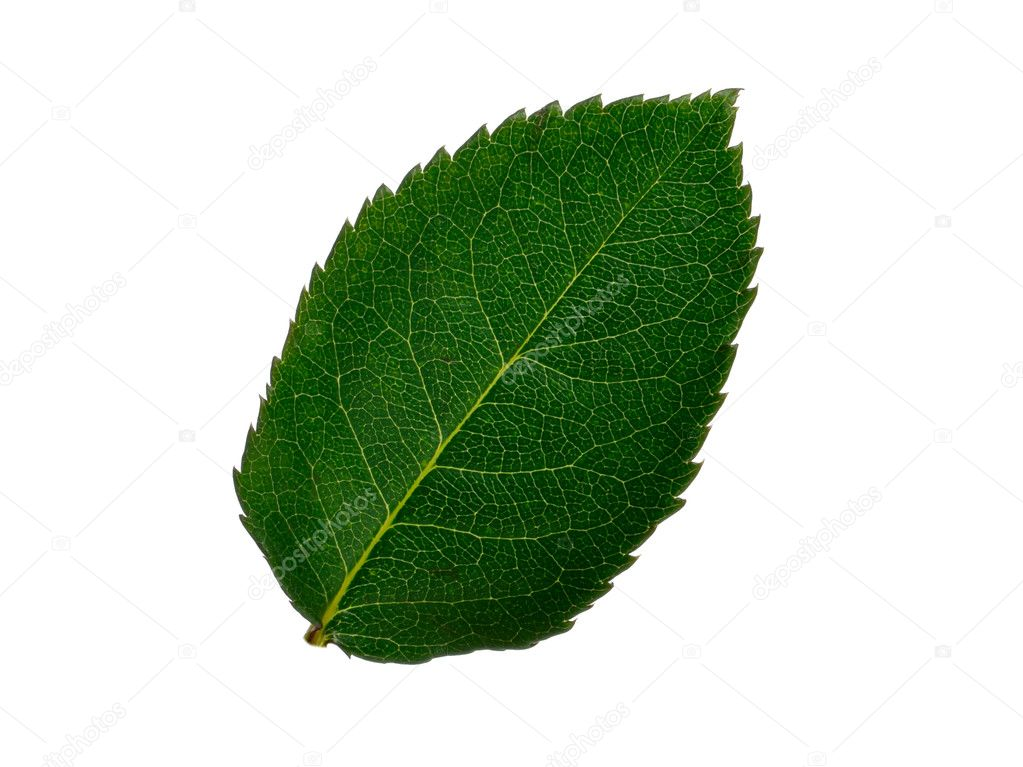 Green small leaf on the white background  Foto de Stock   #1622174