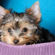 Yorkshire terrier — Stock fotografie