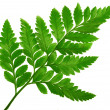 Fern — Stock Photo #2164495