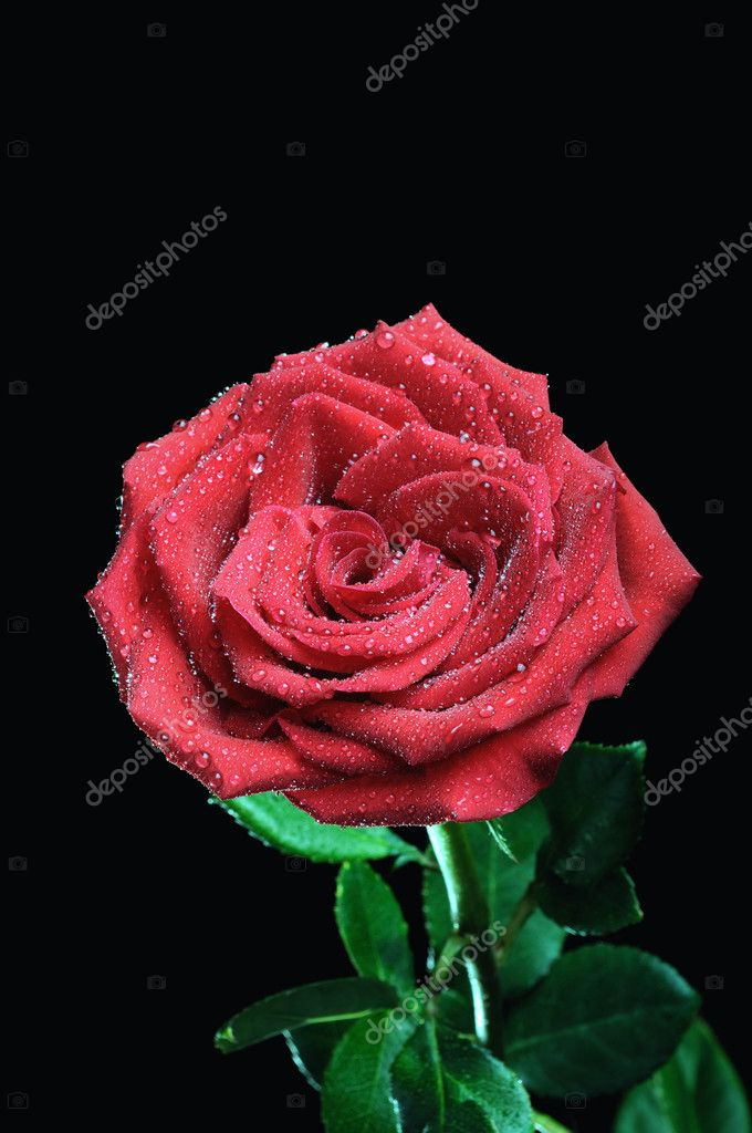 Rose on the black background — Stock Photo #2164052