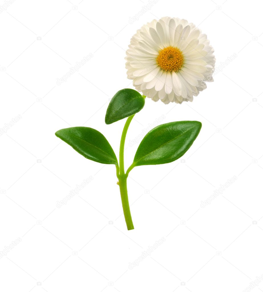 Chamomile on the white background — Stock Photo #2309092