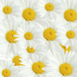 Royalty-Free Stock Photo: Chamomile