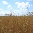 Stock Photo: Field of flax