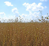 Field of flax — Stock Photo