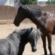 Stock Photo: Horse and pony