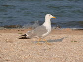 Seagull on seacoast — Stock Photo