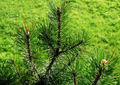 Green spruce — Stock Photo
