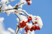 Rowan tree under snow — Stock Photo