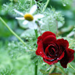 Stock Photo: Red rose