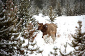 Deer in winter deep forest — Stockfoto