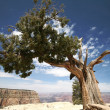 Stock Photo: Tree in Grand Canyon, Arizona, USA
